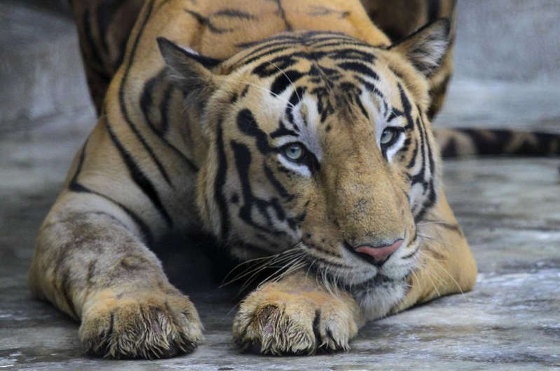 Un célèbre tueur de tigres du Bengale finalement arrêté après 20 ans de cavale